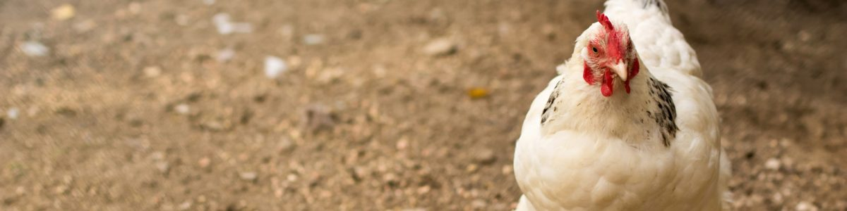 Organic chicken farm. Hen outside at springtime. White hen authentic farm